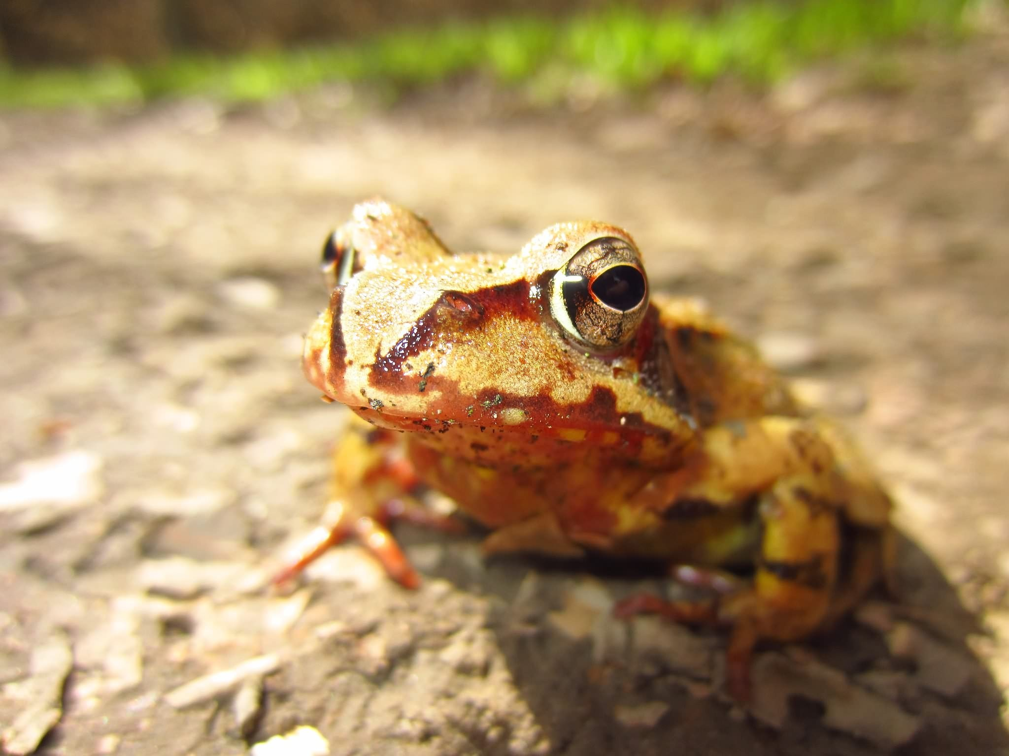 Road salt changes sex ratios in frog populations